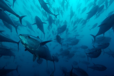 Caged Northern bluefin tuna, Spain