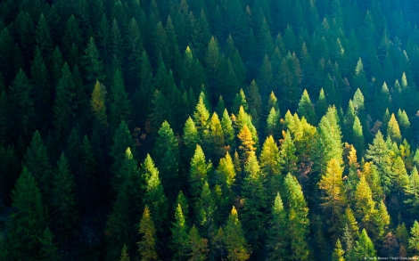 First sunlight touching tips of firs in alpine forest of Zinal,